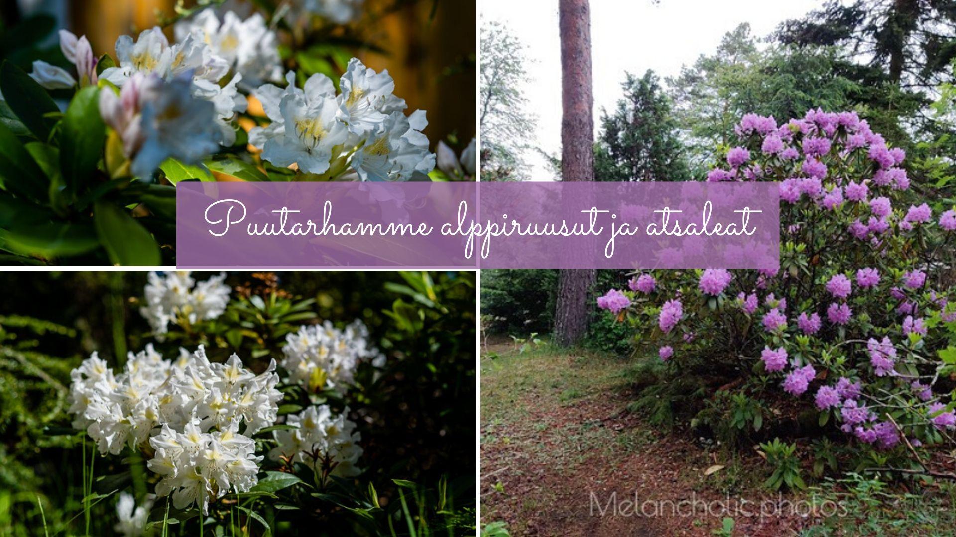 Puutarhamme alppiruusut ja atsaleat